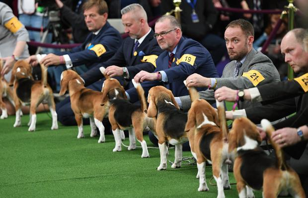 US-ANIMAL-WESTMINSTER-DOGSHOW