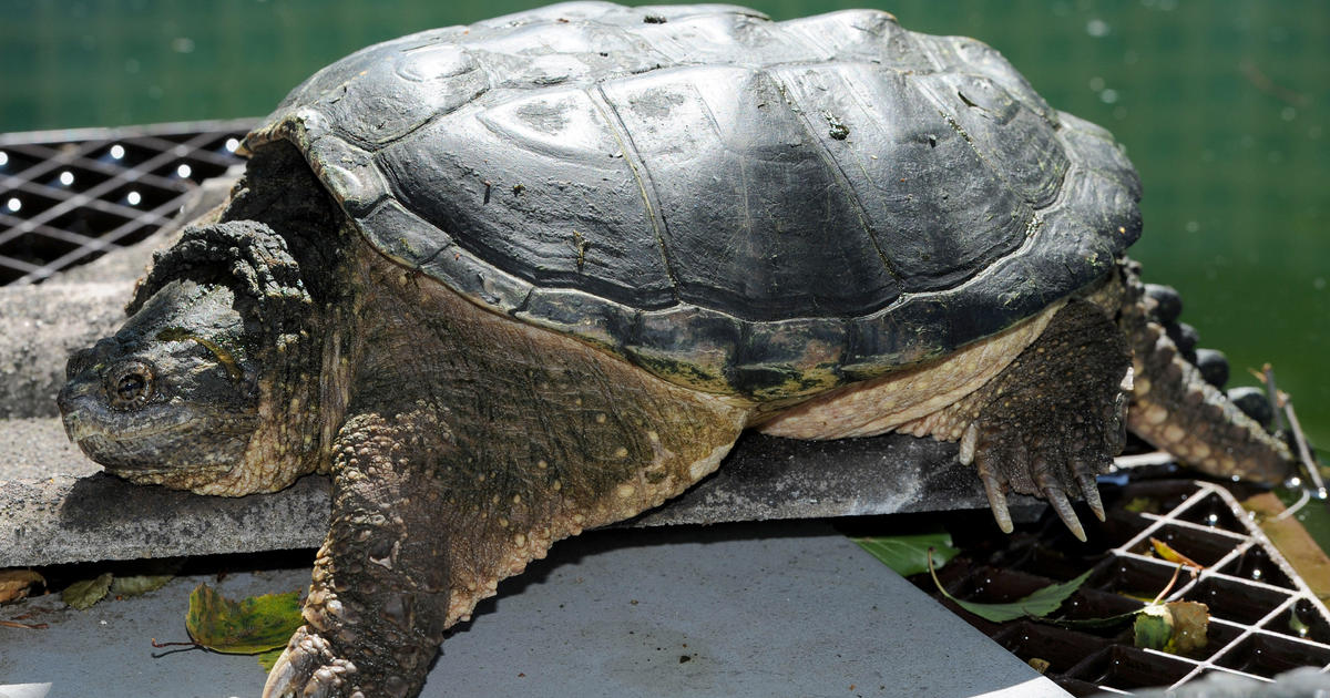 Authorities euthanize turtle amid reports it was fed sick for How to euthanize a fish