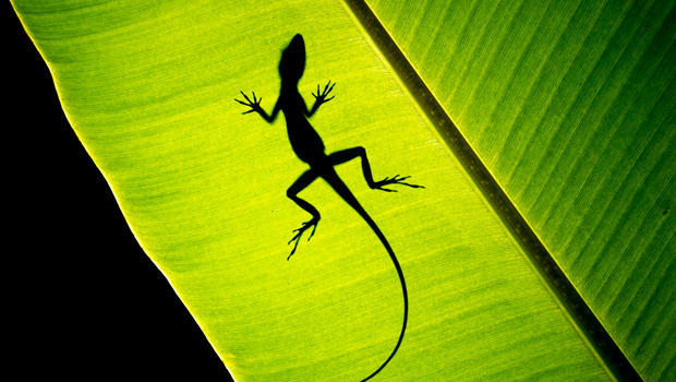 anole-on-a-leaf-naimarkphoto-620.jpg