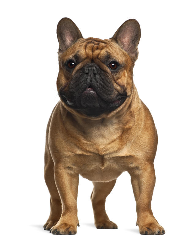 Top 10 dog breeds - Most popular dog breeds in the U S  - Pictures