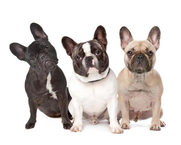 No. 4 french bulldog.jpg
