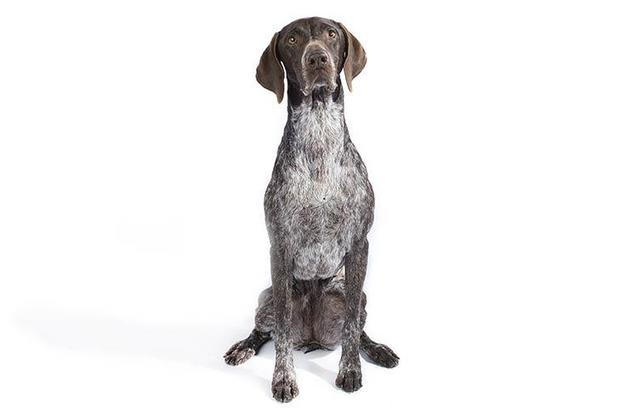 Top 10 dog breeds - Most popular dog breeds in the U S