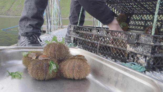 faroe-island-harvesting-sea-urchins-620.jpg