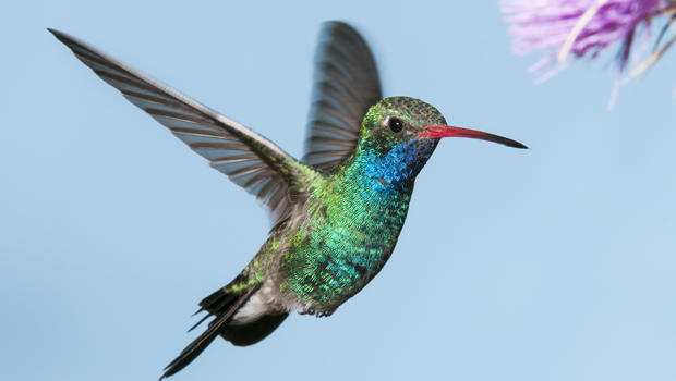 male-broad-billed-hummingbird-verne-lehmberg-620.jpg