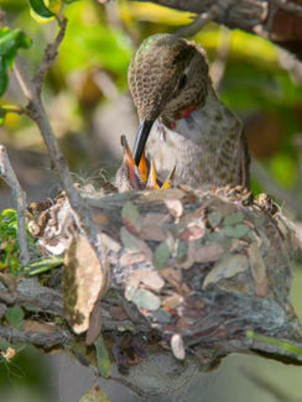 annas-female-hummingbird-verne-lehmberg-244.jpg