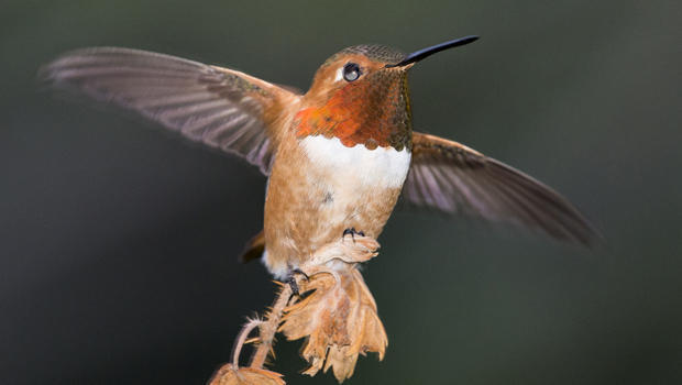 male-rufous-hummingbird-verne-lehmberg-620.jpg