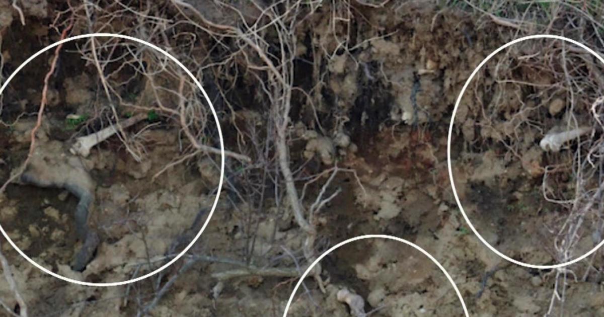hart island cemetery erosion unearths human bones along