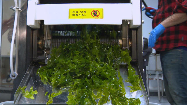 Seaweed farming and its surprising benefits - CBS News