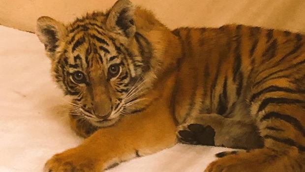 Tiger cub found stuffed in duffel bag along Texas border