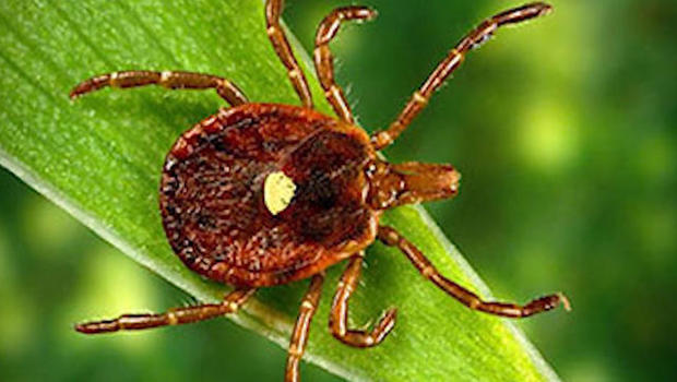 Red meat allergies caused by Lone Star tick on the rise