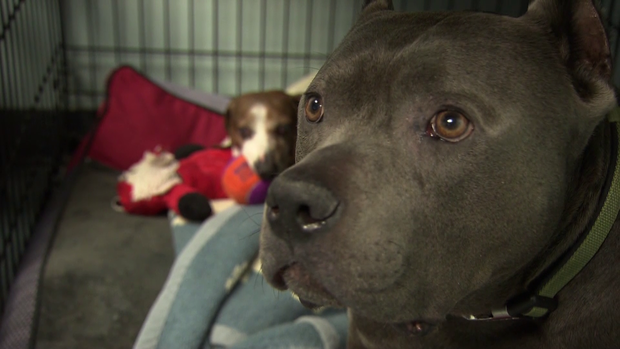 blind 12 year old dachshund pit bull form inseparable bond cbs news
