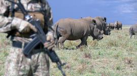 Raising rhino like cattle
