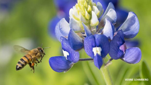 bee-hovering-near-bluebonnet-verne-lehmberg-620.jpg