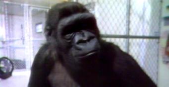 Koko The Gorilla Meets 60 Minutes