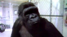 1978: When Morley met Koko