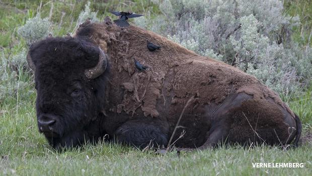 brown-headed-cowbird-on-male-bison-620.jpg