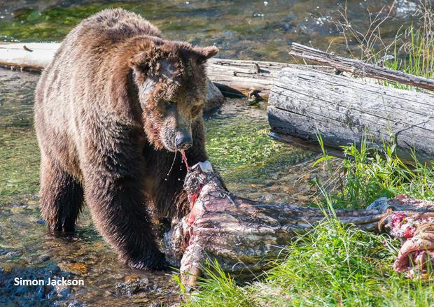 scarface-grizzly-bear-eating-simon-jackson-620.jpg