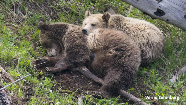 grizzly-bears-raspberry-and-snow-sleeping-verne-lehmberg-620.jpg