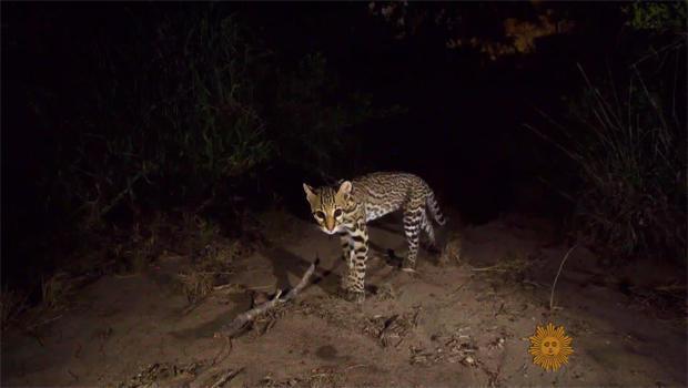 joel-sartore-cat-captured-with-camera-trap-620.jpg