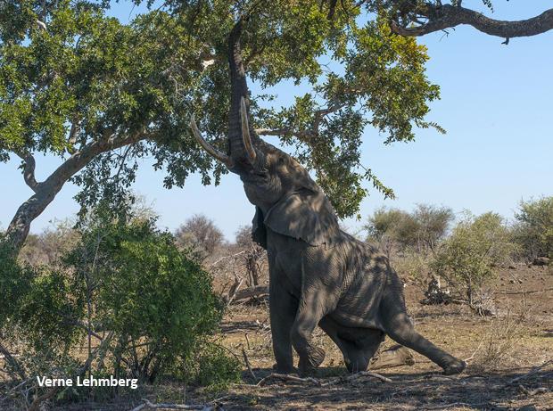 elephant-on-knee-reaching-up-for-leaves-verne-lehmberg-620.jpg