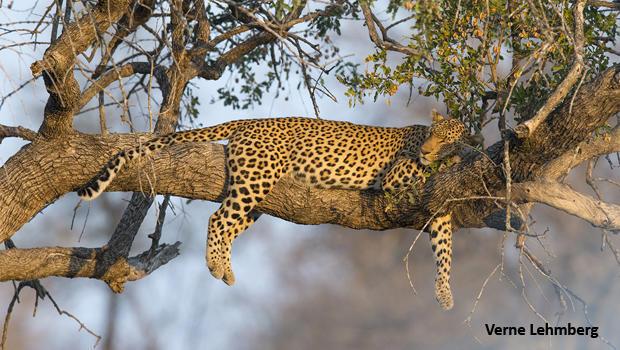 leopard-sleeping-in-tree-verne-lehmberg-620.jpg