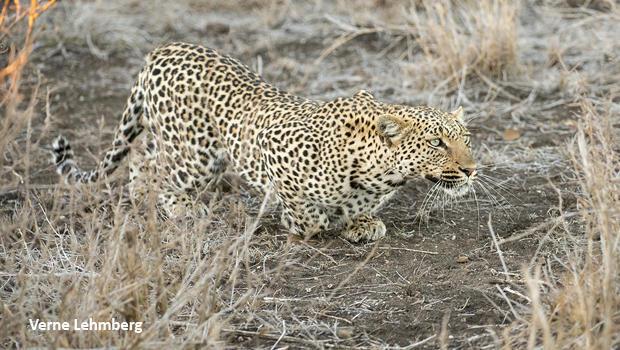 leopard-slinking-stalking-verne-lehmberg-620.jpg