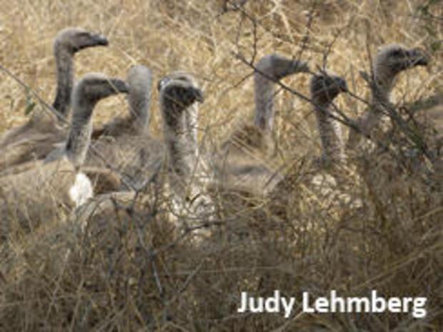 vultures-waiting-kruger-national-park-judy-lehmberg-244.jpg