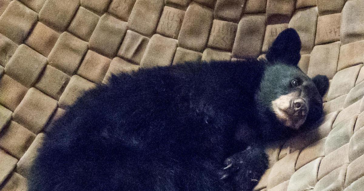 Bear cub burned in California wildfire kicks back in hammock as paws heal