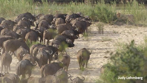 judy-lehmberg-sabie-river-lions-ready-to-attack-buffalo-620.jpg