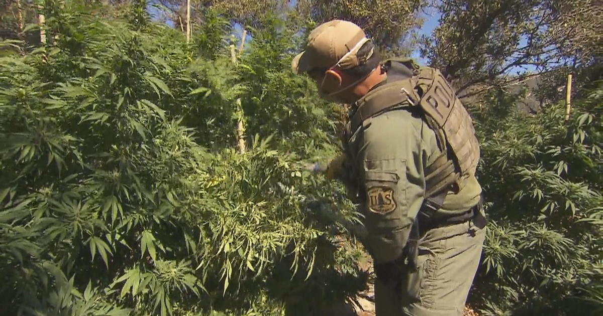 People are growing marijuana illegally in national forests – and it's ravag...