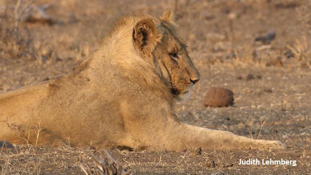young-lion-resting-judith-lehmberg-620.jpg