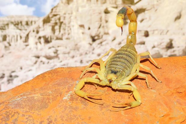 scorpion-1.jpg