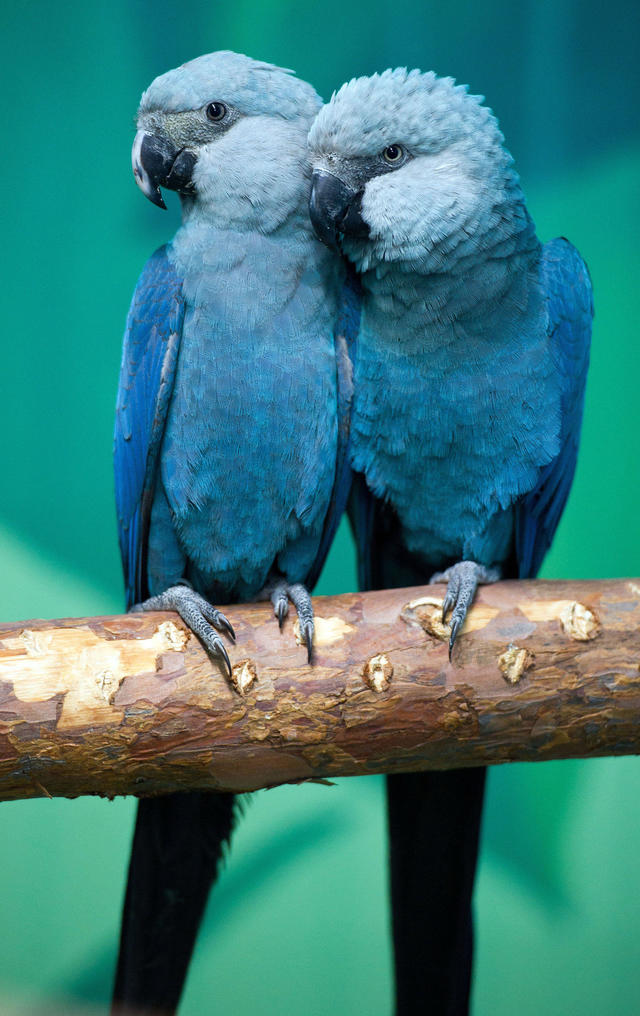 Blue Macaw Parrot That Inspired Rio Is Now Officially Extinct In The Wild Cbs News