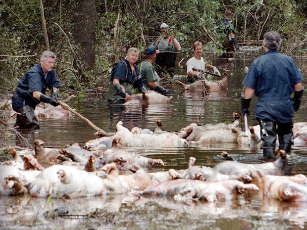 Image result for images dead chicken and hogs in South Carolina after Hurricane Florence