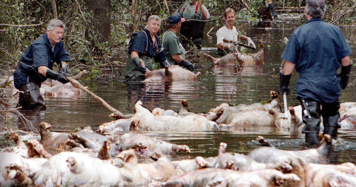 Image result for florence pig farm flooding