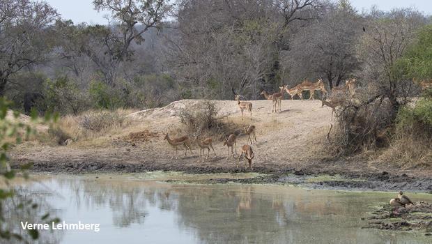 elephant-leopard-impala-geese-verne-lehmberg-620-8273.jpg