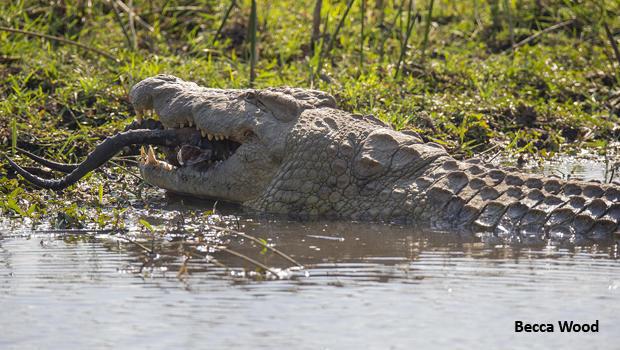 croc-swallowing-impala-head-and-horns-becca-wood-620.jpg