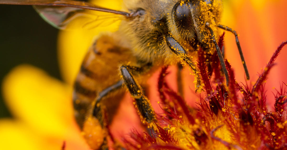 6b4092d6f53 Earth Day challenge for gardeners  Don t poison bees - CBS News