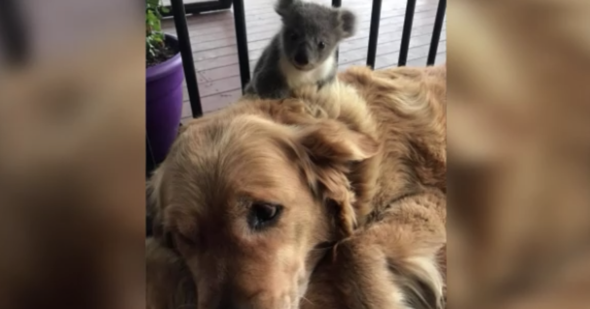 Lost baby koala cuddles with golden retriever to stay warm