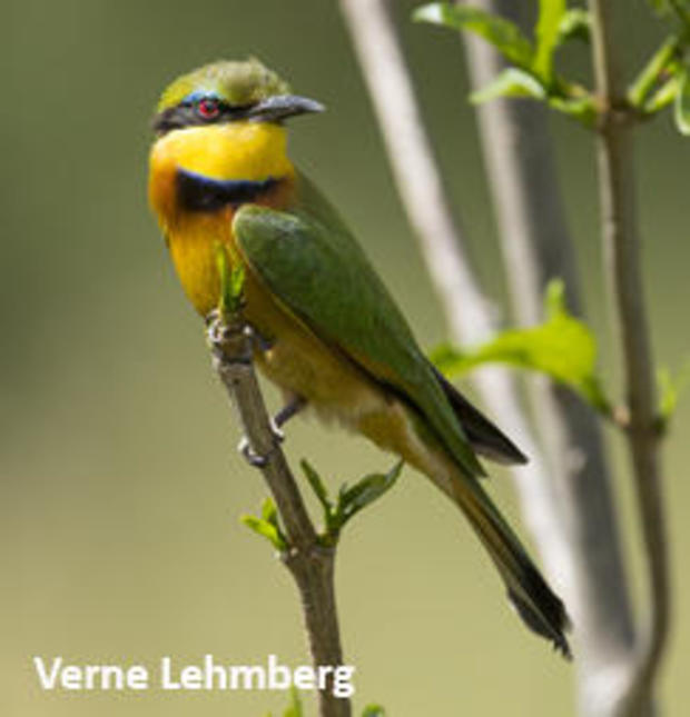 little-bee-eater-verne-lehmberg-244.jpg