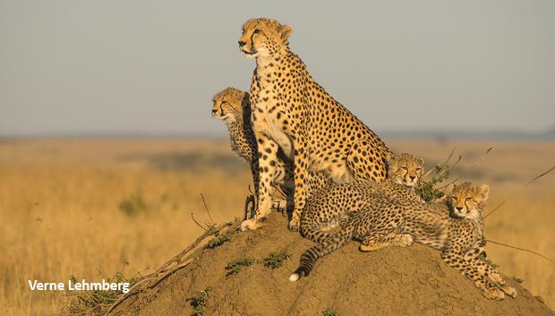 cheetah-family-on-termite-mound-verne-lehmberg-620.jpg