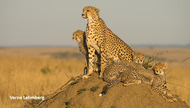 cheetah-family-on-termite-mound-verne-lehmberg-620.jpg