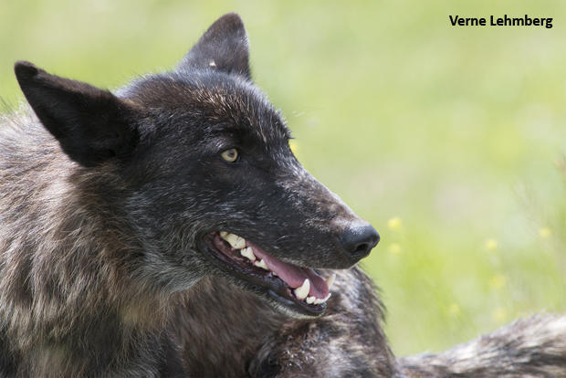 wolf-number-926f-the-great-granddaughter-of-21m-in-lamar-valley-photo-verne-lehmberg-620.jpg