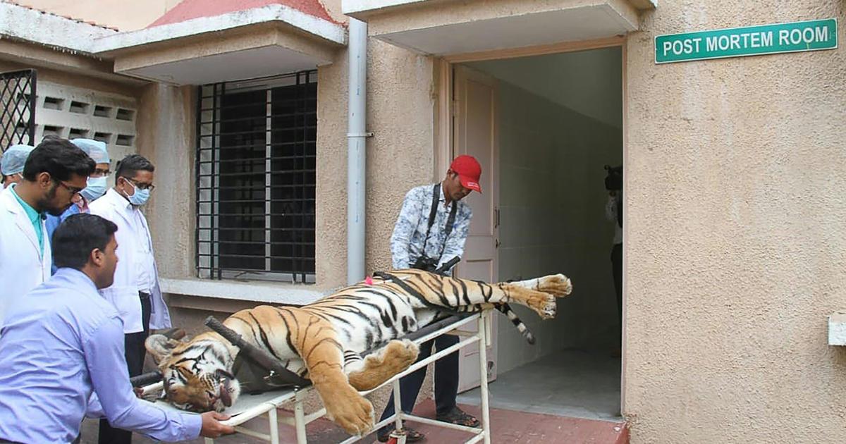 India-tigress-killed-tiger-1057221502