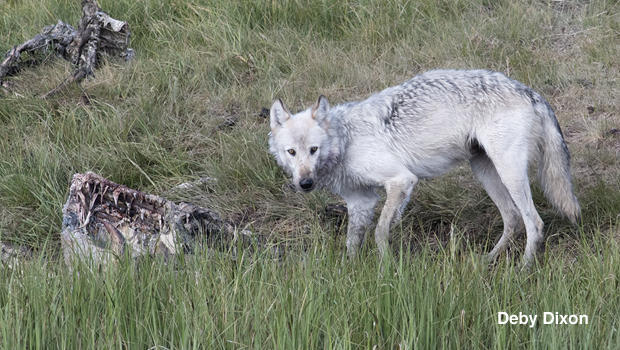 the-wapiti-white-female-at-the-bison-carcass-by-deby-dixon-620.jpg