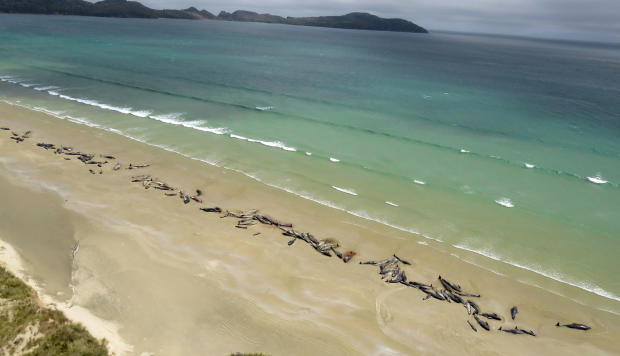 A supplied image shows around 145 pilot whales that died in a mass stranding on a beach on Stewart Island, located south of New Zealand's South Island, Nov. 25, 2018.
