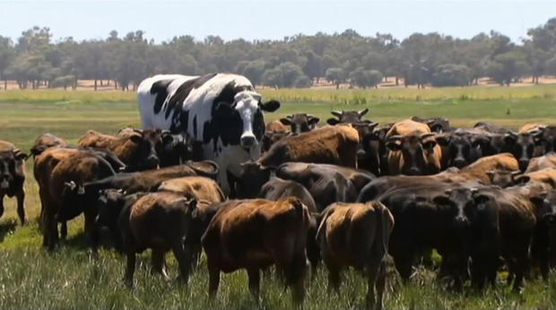 Knickers the steer, center back, stands in a paddock with a herd of cows in Lake Preston, Australia, Nov. 15, 2018.