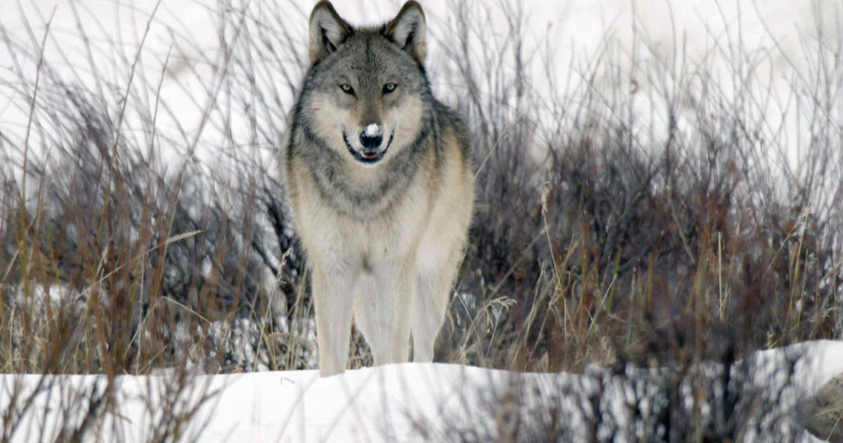 the return of wolves to yellowstone park 60 minutes cbs news