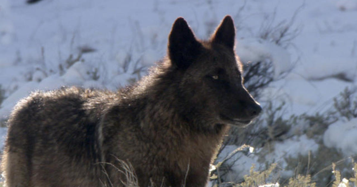 Well Known Wolf Spitfire Killed Outside Yellowstone National Park