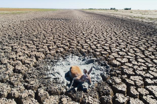 Animals Struggle To Escape From The Dry Bed of Lake Cawndilla